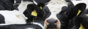 Clostridial disease can cause sudden death in cattle