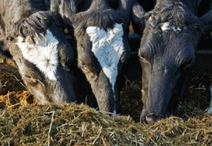 Scour prevention helped double herd size