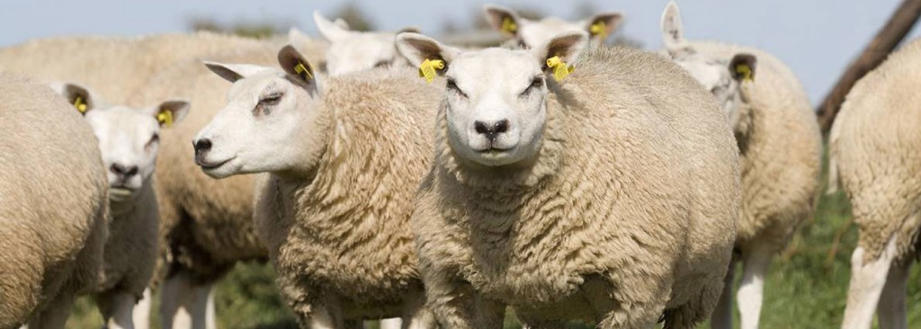 Sheep abortion article
