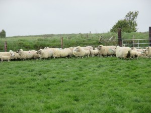 Clostridial disease in sheep