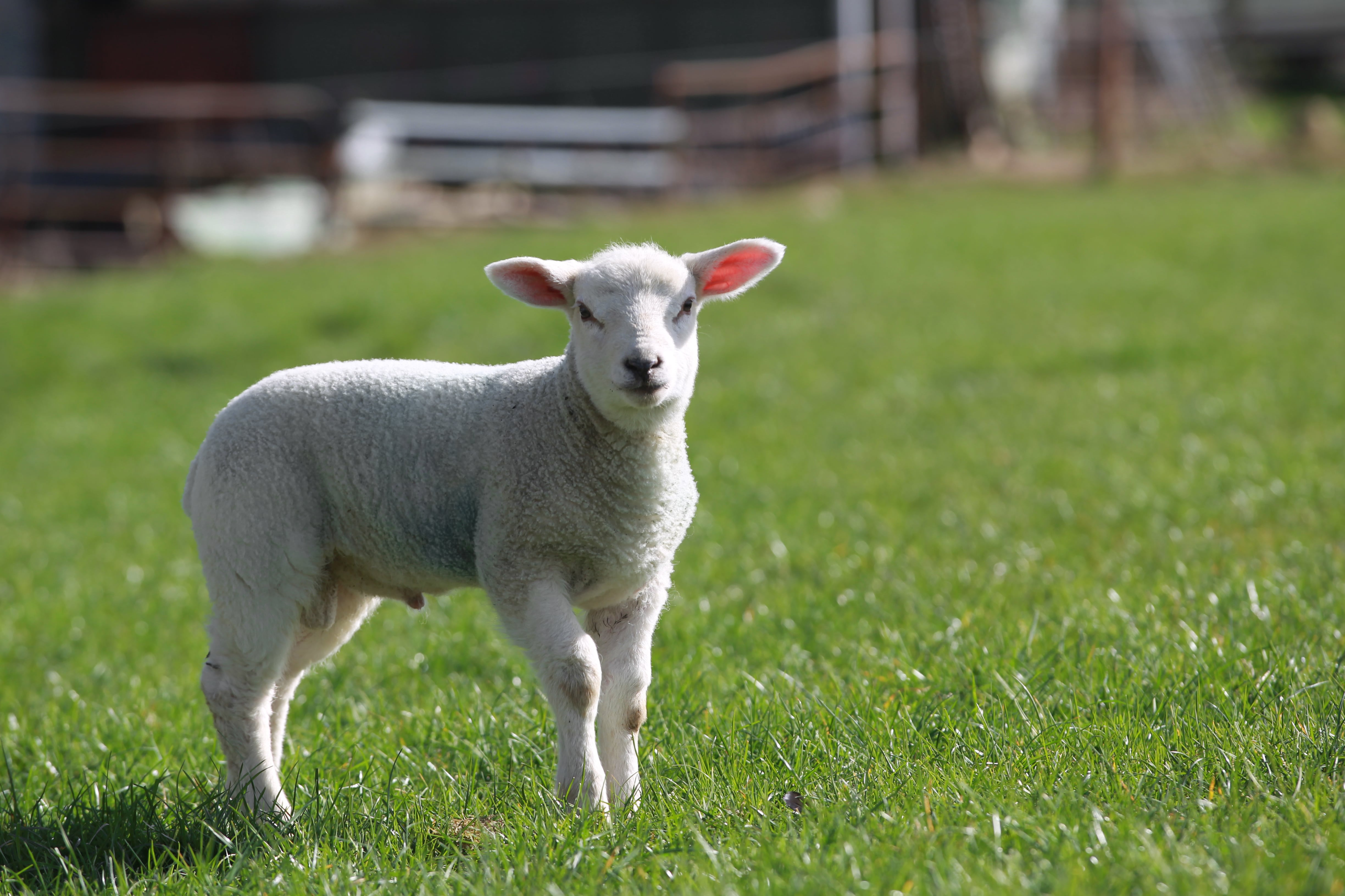 Watch How to Prevent Sheep Lameness video