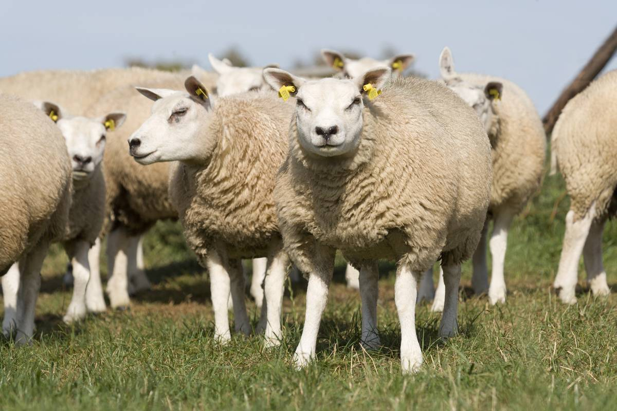 How to Prevent Sheep Lameness