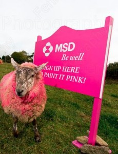 Ewe painted pink for cancer