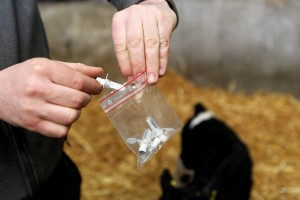 Vaccinating calves for BVD