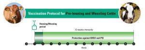 Vaccination protocol for pre-housing and weanling cattle