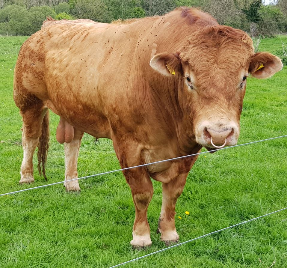 Limousin bull with flies along his upper shoulder in spring 2020
